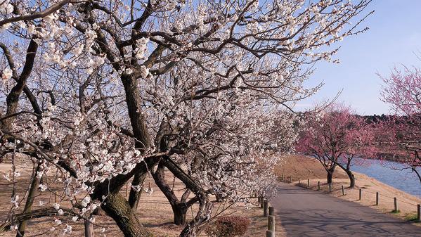 水戸偕楽園の梅
