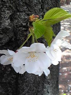 03 桜の小さな花