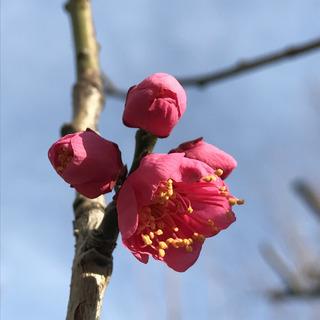 梅。つぼみ