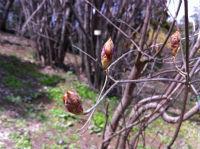 ツツジの冬芽