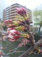 2010.3.26追っている枝はまだ咲いていません