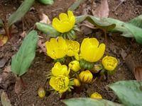 黄花セツブン草