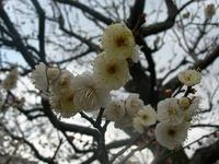 白色の梅の花