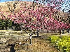 さくらの里・桜