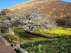 さくらの里・桜.菜の花