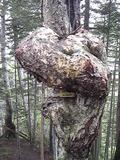 160605_1133尾根上にもどって少し下ると名物の木があった