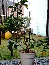 レモンの鉢