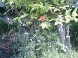 裏庭の草花1