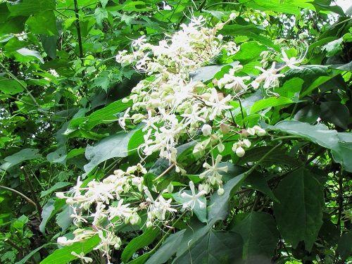 ●クサギ(クマツヅラ科)(臭木)。枝や葉を切ると独特の臭気があるのでこの... 花便りとドウシテ