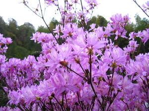 蒲生カントリークラブ山躑躅の花