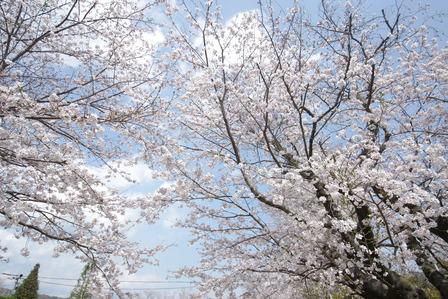 姶良市宮島西公園の桜