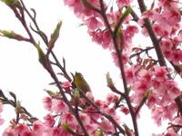 薩摩川内市立藺牟田小学校桃の花