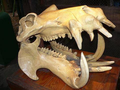 Hippo_skull