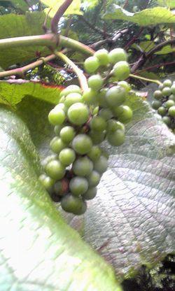 grape 007-7