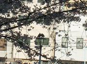 20110404桜と鳩さんカップル