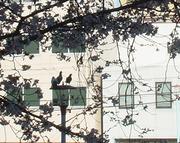 20110404桜と鳩さんカップルにお邪魔虫