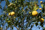 lemon01