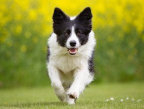 ad_img3_thumb_mob_border-collie_581c1
