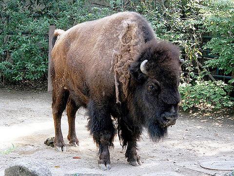 america-bison(5)_a~WM