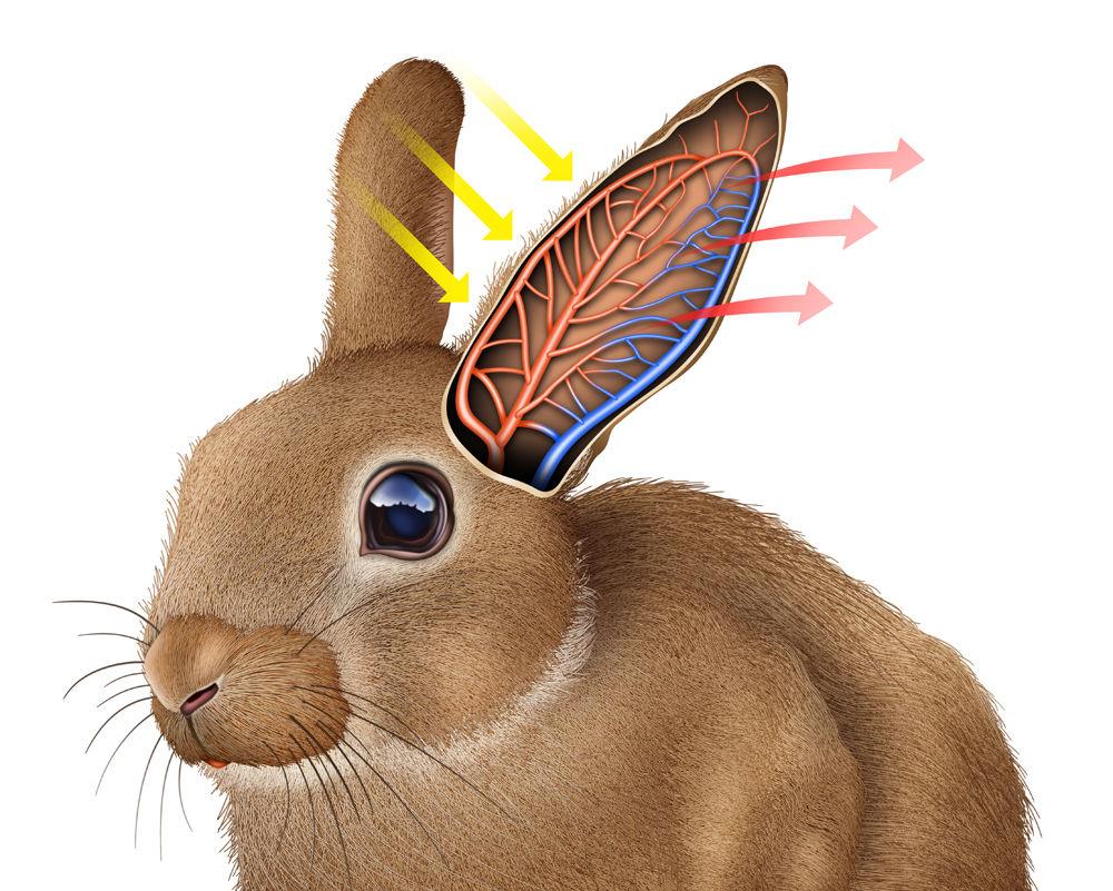 ニホンノウサギ : 世界の動物達を透視リアルイラストで表現2018