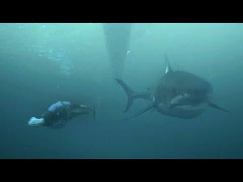 フェルプス鮫