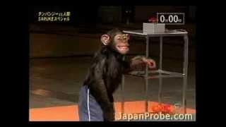チンパンジー_サスケ