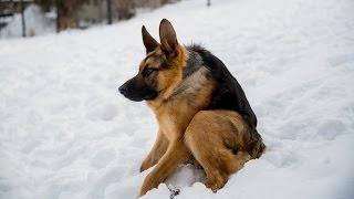 quasi-dog