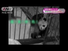 中国パンダ挟まる