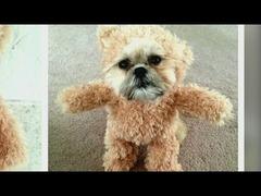 シーズー犬テディベア