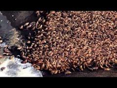 アラスカ35000頭セイウチ