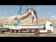 クジラをトラックで処分
