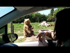 手を振る熊