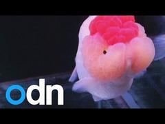 金魚美人コンテスト
