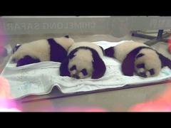 三つ子パンダ