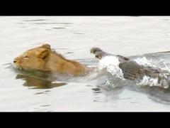ライオン対ワニ