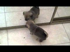 鏡と戦う子犬
