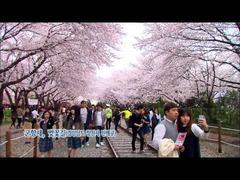 十里の桜並木