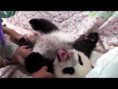 台湾パンダ赤ちゃん公開