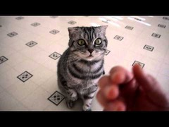 必死にお手する猫