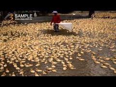 台湾の養鴨