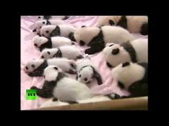 赤ちゃんパンダ中国