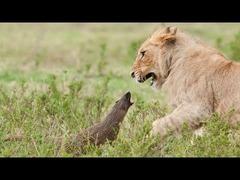 マングース対ライオン
