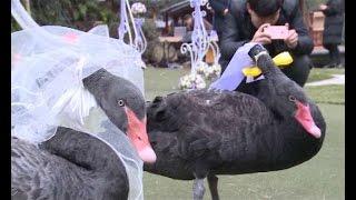 白鳥の結婚式