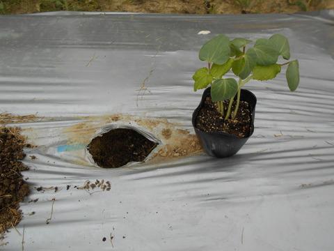 オクラの植え替えとピーマンの脇芽欠きと誘引