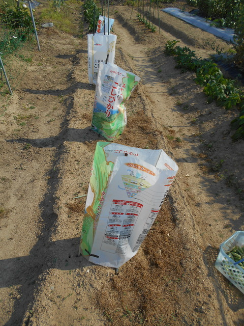 スイカ・メロンのお世話とエンドウ豆今年最後の収穫