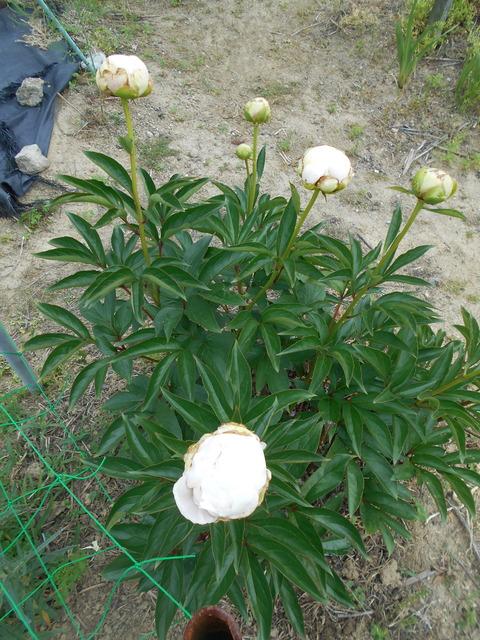 お墓参り用の花の収穫