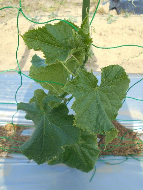 きゅうりとミニトマトの脇芽欠きと誘引作業