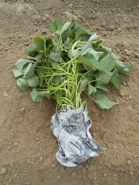 サツマイモの植え付け第2段