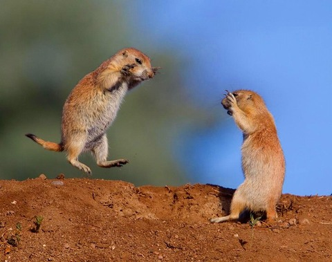 a2014-4-24prairie-dogs-fighting