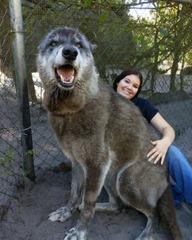 【画像】 犬と思って育てたら巨大な狼だった!
